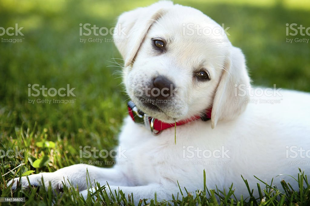Yellow lab puppy outdoors stock photo