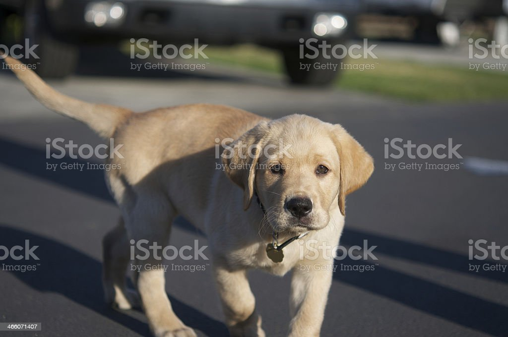 Yellow Lab Puppy Stock Photo Download Image Now Istock