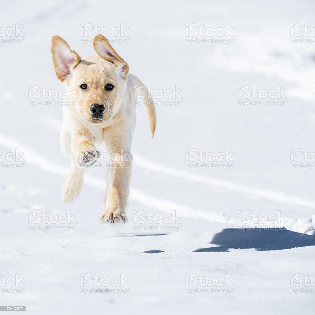 Yellow lab puppy royalty-free stock photo