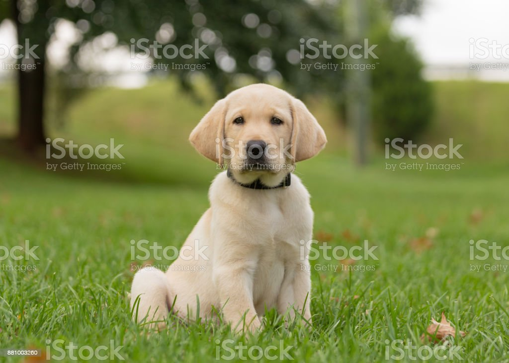 Yellow lab puppy sitting alone in the grass A very young, yellow labrador retriever puppy, with big floppy ears, sits in the grass with her eyes barely open Animal Stock Photo