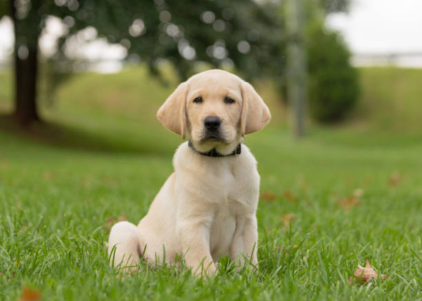 Yellow lab puppy sitting alone in the grass stock photo