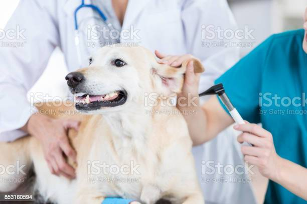 Yellow lab receives ear checkup at the vet picture id853160594?b=1&k=6&m=853160594&s=612x612&h=5vzfiwusna0k lewevcrkx1cbl1t5mgtnpheobedjcw=