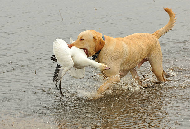 Yellow Lab with a Snow Goose Labrador Retriever with spring South Dakota Snow Goose. snow goose stock pictures, royalty-free photos & images
