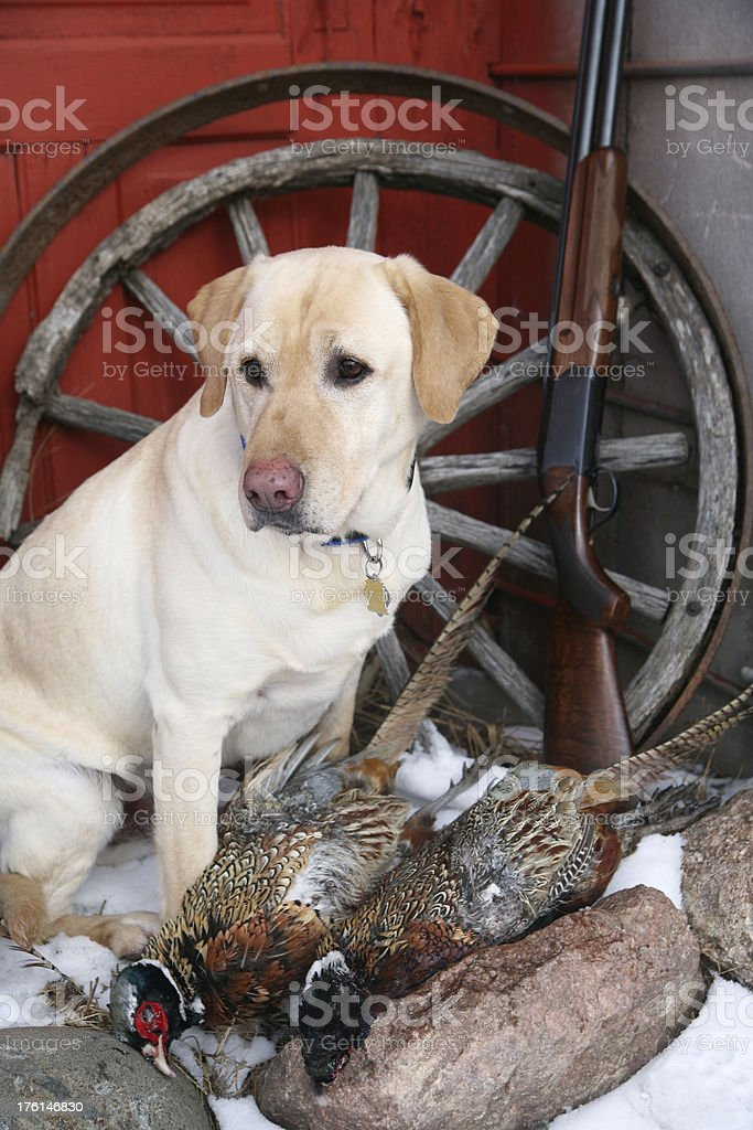 Yellow lab with two pheasants stock photo