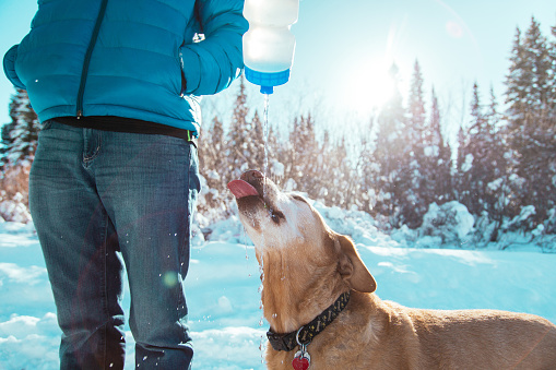 Dog standing in winter snow drinking from a plastic water bottle being poured by human.