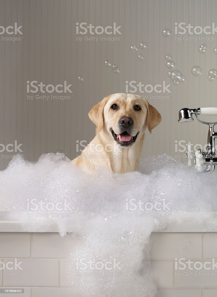 Yellow Labrador getting a bath with bubbles in background. stock photo