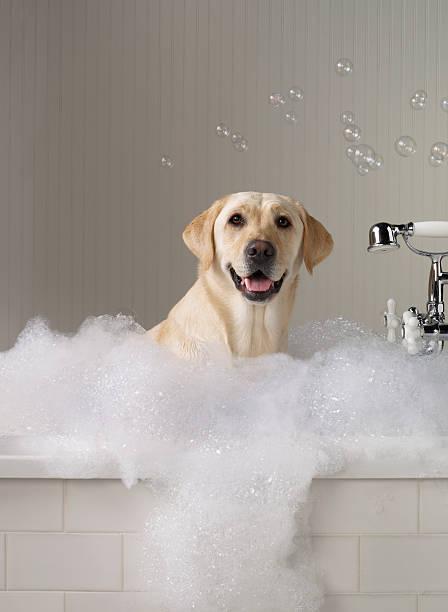 Amarelo Labrador s'um banheiro com bolhas no fundo. - foto de acervo