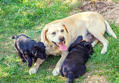 Yellow Labrador mother dog with two black puppies on the grass in the summer garden