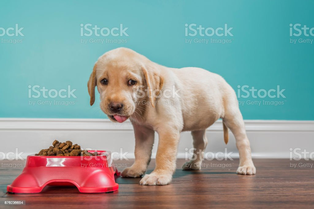 A Yellow Labrador puppy eating from a pet dish, looking at camera - 7 weeks old stock photo