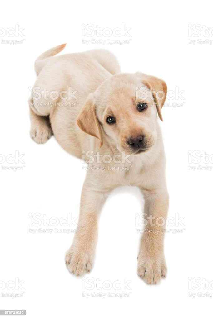 Yellow Labrador puppy lying down looking up on white background - 7 weeks old stock photo