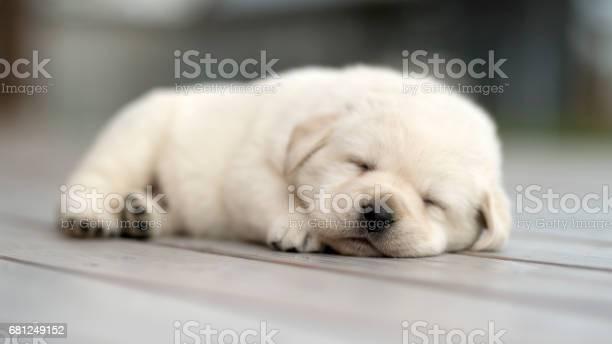 Yellow labrador puppy pet keep calm picture id681249152?b=1&k=6&m=681249152&s=612x612&h=hvmsawx9vas tujvau lgtwlftrmd7k0kwpw ykszr4=