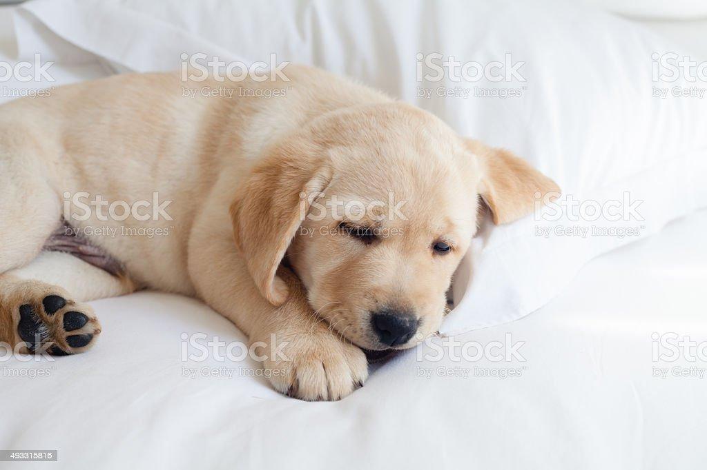 Cucciolo Labrador giocando giallo - foto stock