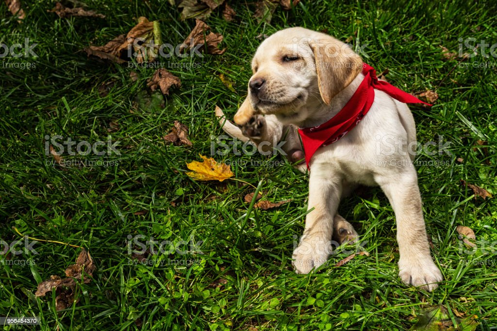 Yellow Labrador puppy scratching outside in grass - 7 weeks old stock photo