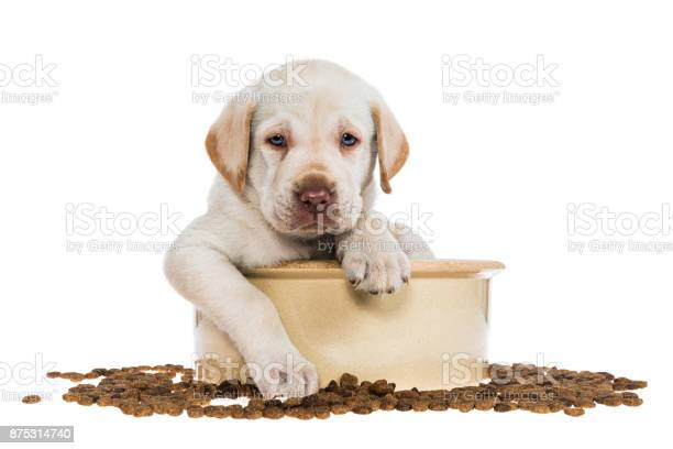 Yellow labrador puppy sitting in large dog bowl 5 weeks old picture id875314740?b=1&k=6&m=875314740&s=612x612&h=s3tzzbepfyqofb3hhkyq9fio siumqdrgz0pvdlxrbe=