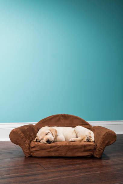 gelber labrador-welpe in einem sofa schlafen förmige hundebett - 7 wochen alt - katzen kissen stock-fotos und bilder