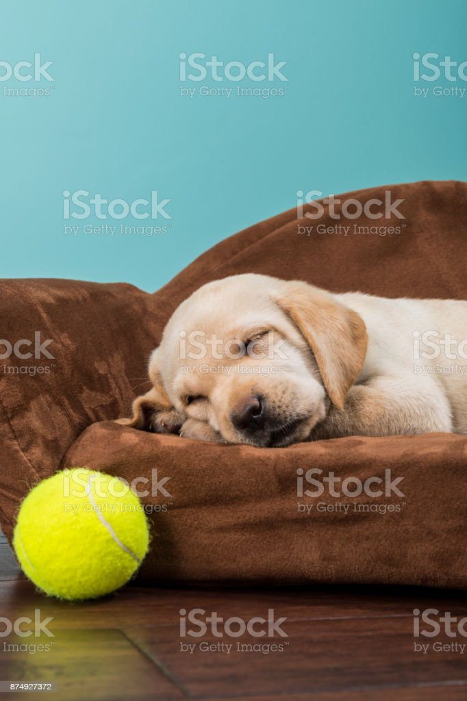 Marvelous Yellow Labrador Puppy Sleeping In A Sofa Shaped Dog Bed With Short Links Chair Design For Home Short Linksinfo