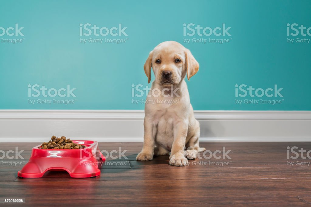 A Yellow Labrador puppy waiting to eat, looking at camera - 7 weeks old stock photo