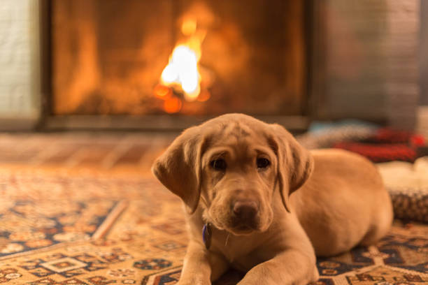 Yellow labrador retreiver puppy relaxing in front of a fireplace stock photo