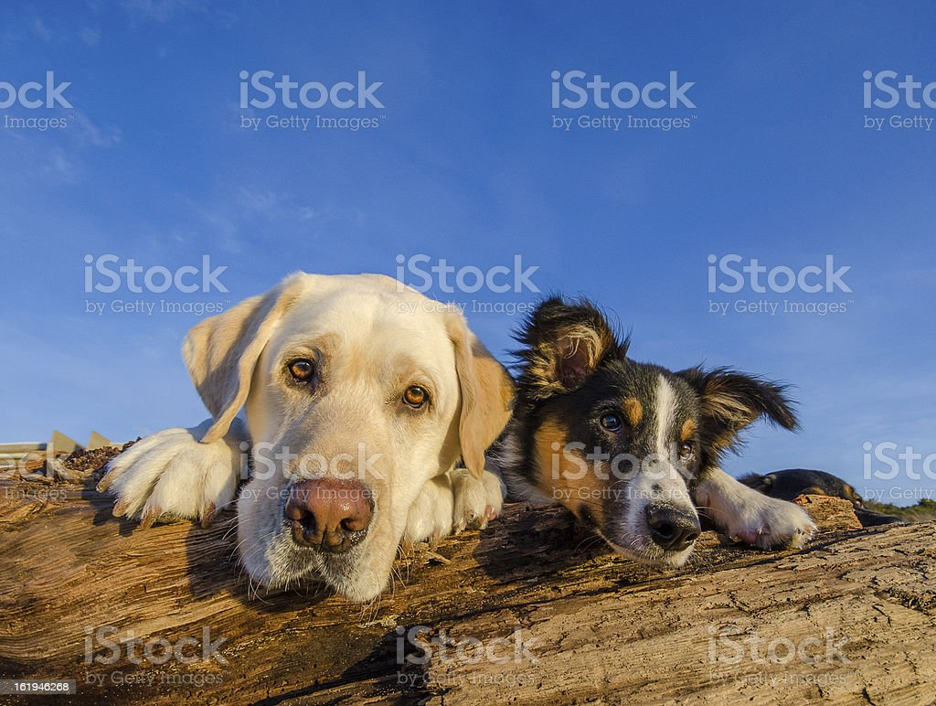 Yellow Labrador Retriever And Tri Colored Border Collie