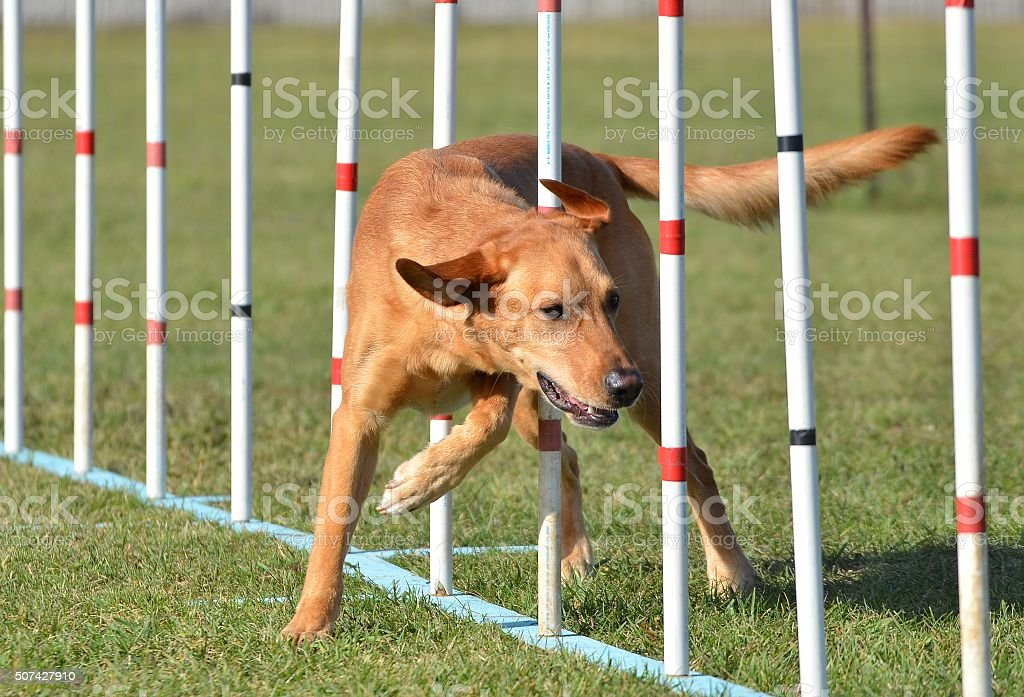Yellow Labrador Retriever Doing Weave Poles at Dog Agility Trial