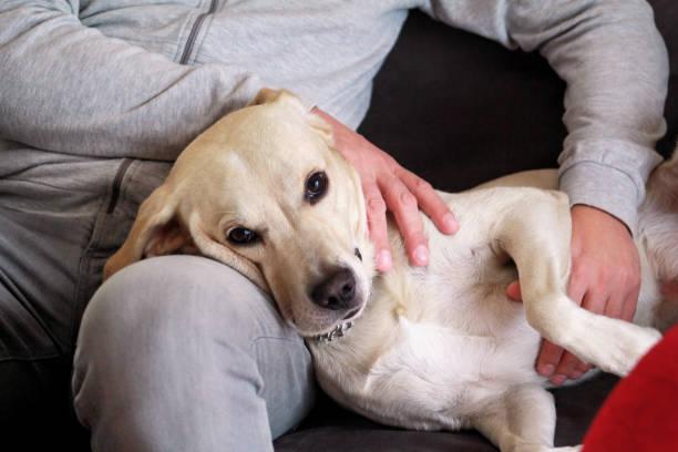Cão retriever de labrador amarelo gosta de companhia de seu dono sentados juntos no sofá e acariciando adoráveis cães. Proprietário se divertindo com seu conceito do animal de estimação. Dono do animal com cachorro em casa, deitado sobre as pernas d - foto de acervo