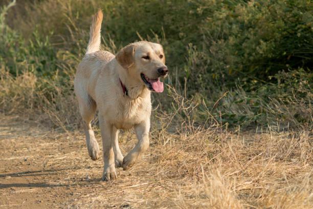 gelber labrador retriever-hund läuft am graben entlang - dressierter hund stock-fotos und bilder