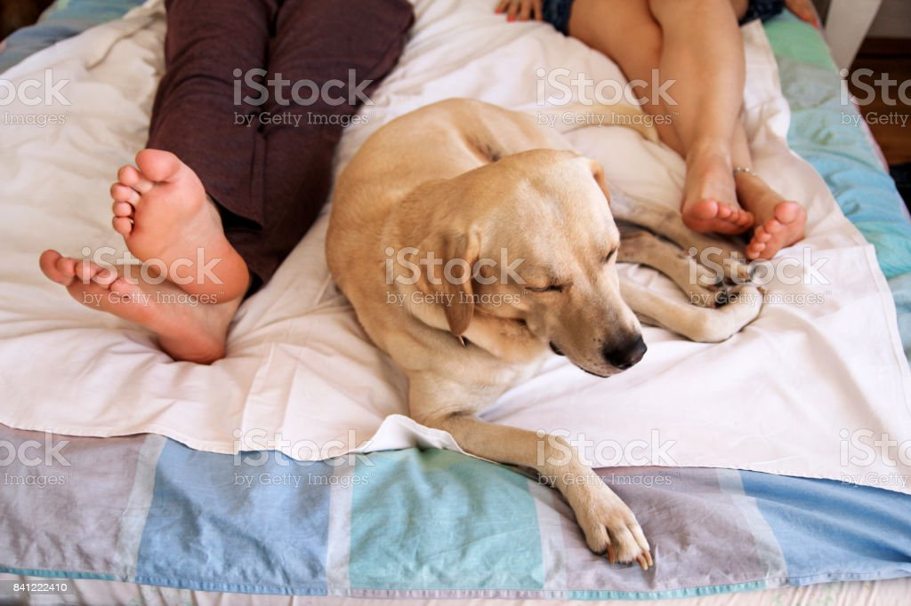 Yellow labrador retriever dog sleeping on the bed between owners feet couple, pet in bedroom in morning.  Man and a woman in sheets on the bed. The dog is near. The dog is close-up. stock photo