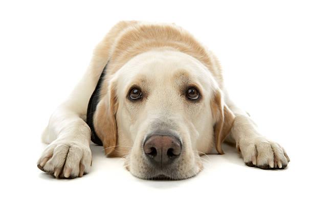 A yellow Labrador retriever laying down Cute dog labrador retriever stock pictures, royalty-free photos & images