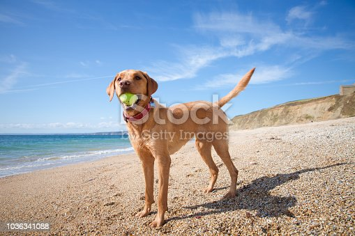 A profile of a young, yellow Labrador retriever standing on a sandy beach whilst holding a tennis ball in its mouth