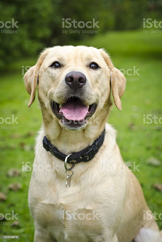 Yellow Labrador Retriever stock photo