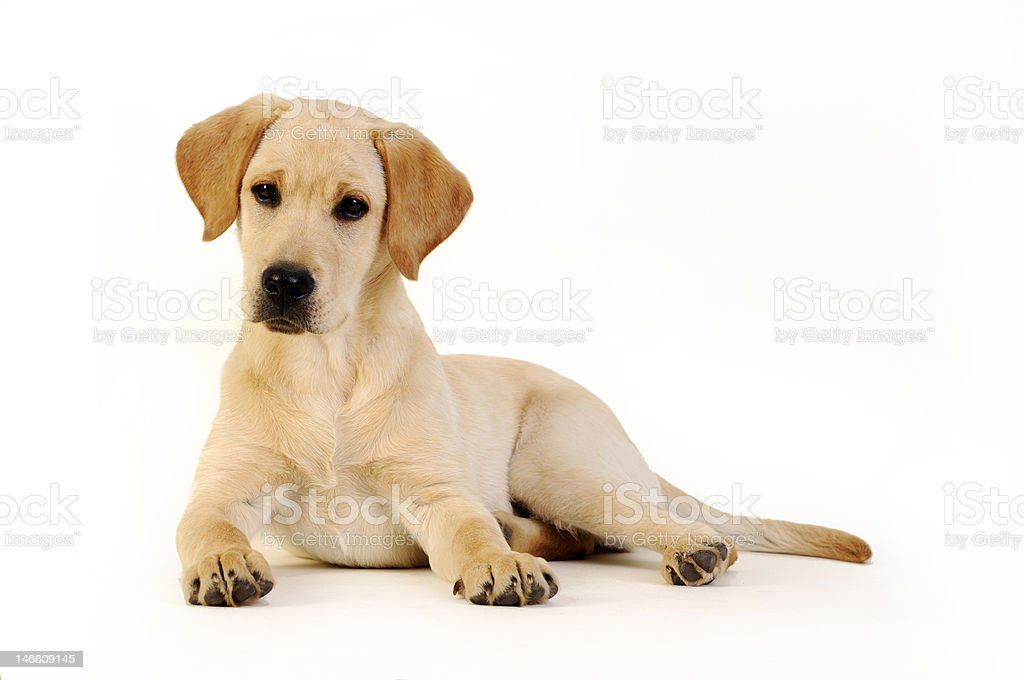 Yellow Labrador retriever puppy royalty-free stock photo