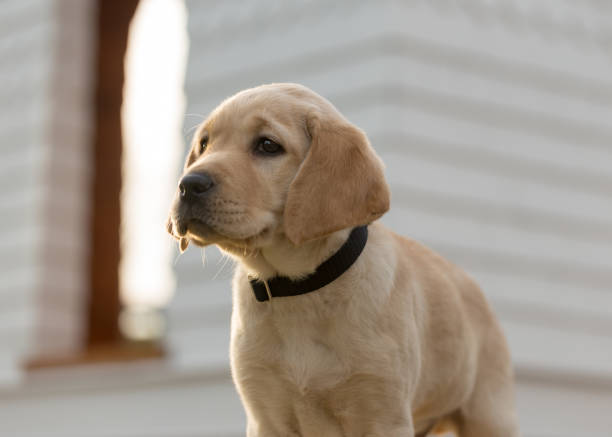 Yellow Labrador retriever puppy stands in front of a white gazebo stock photo