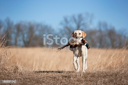 Yellow labrador retrieving a ring necked pheasant.