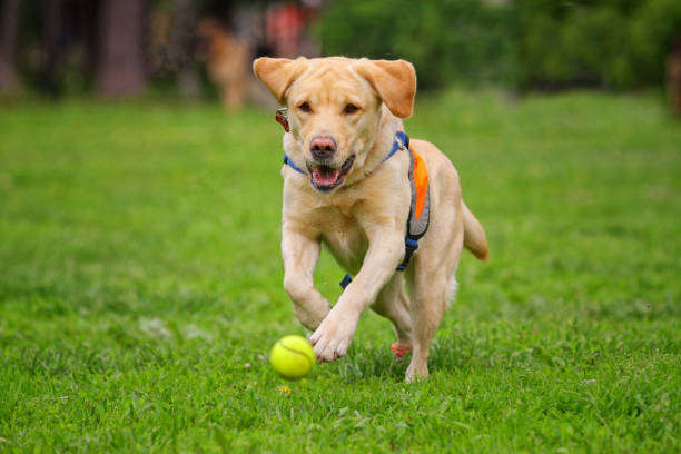 Yellow labrador runs after a toy along the grass picture id1212786835?b=1&k=6&m=1212786835&s=612x612&w=0&h=9k skmvhzas0lky5s6xge7fbcjcisvjnlcwnmgyx3ow=