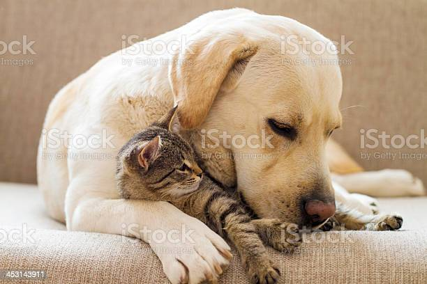Yellow labrador with a tabby cat on a sofa picture id453143911?b=1&k=6&m=453143911&s=612x612&h=o6g6ykobzmweod1bjdq ogqgwtpdfq ry hdmy6yir0=
