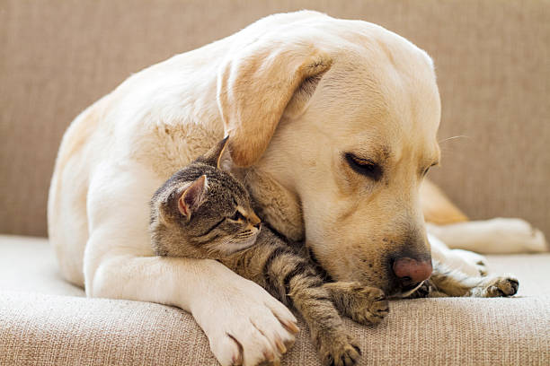 Yellow labrador with a tabby cat on a sofa picture id453143911?b=1&k=6&m=453143911&s=612x612&w=0&h=k81mr6ogom4b8pnza85bgsntgwmigyhhouqtz2beevw=