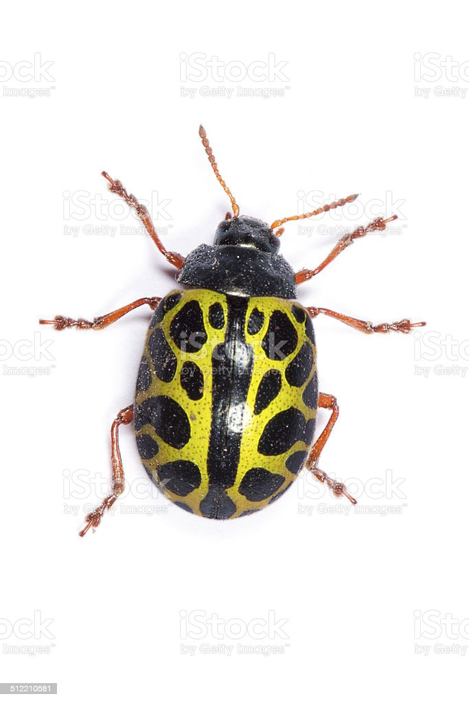Yellow Ladybird Beetle stock photo