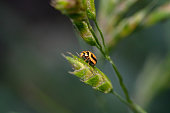 Yellow ladybug climbing up on a green plant with morning dew