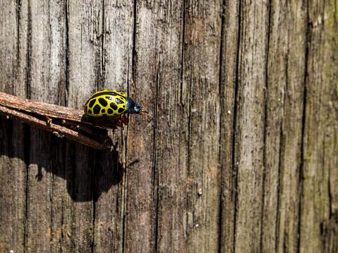 Yellow ladybug, leopard mariquita (Calligrapha polyspila) on a stick with a wooden background