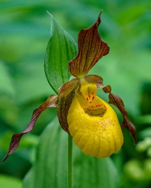 Yellow Lady's Slipper, closeup stock photo