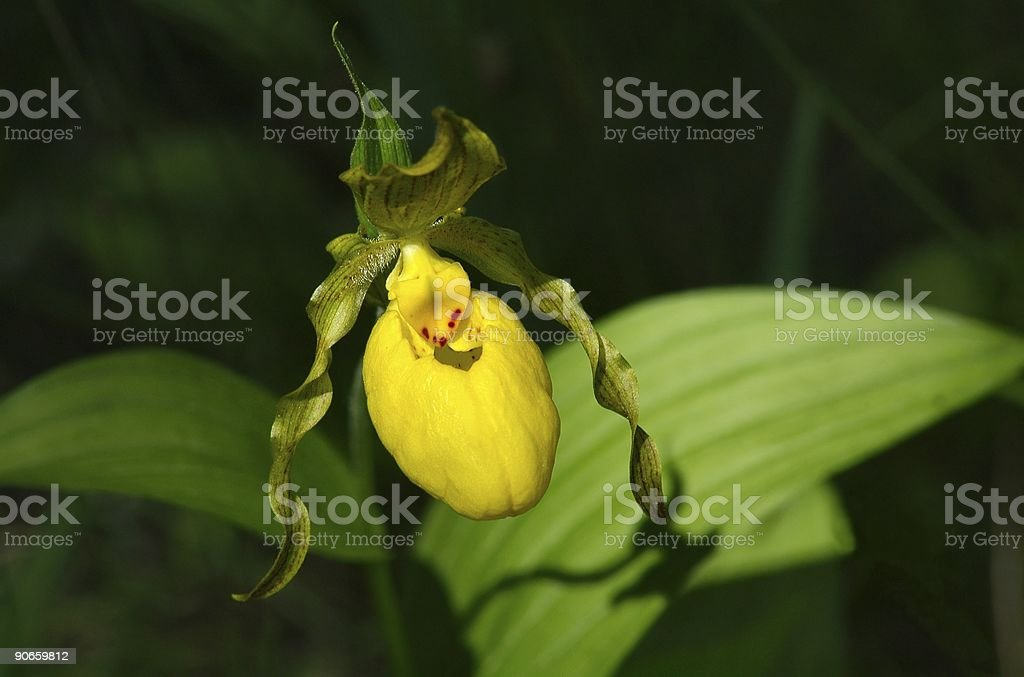 Yellow Lady's Slipper royalty-free stock photo