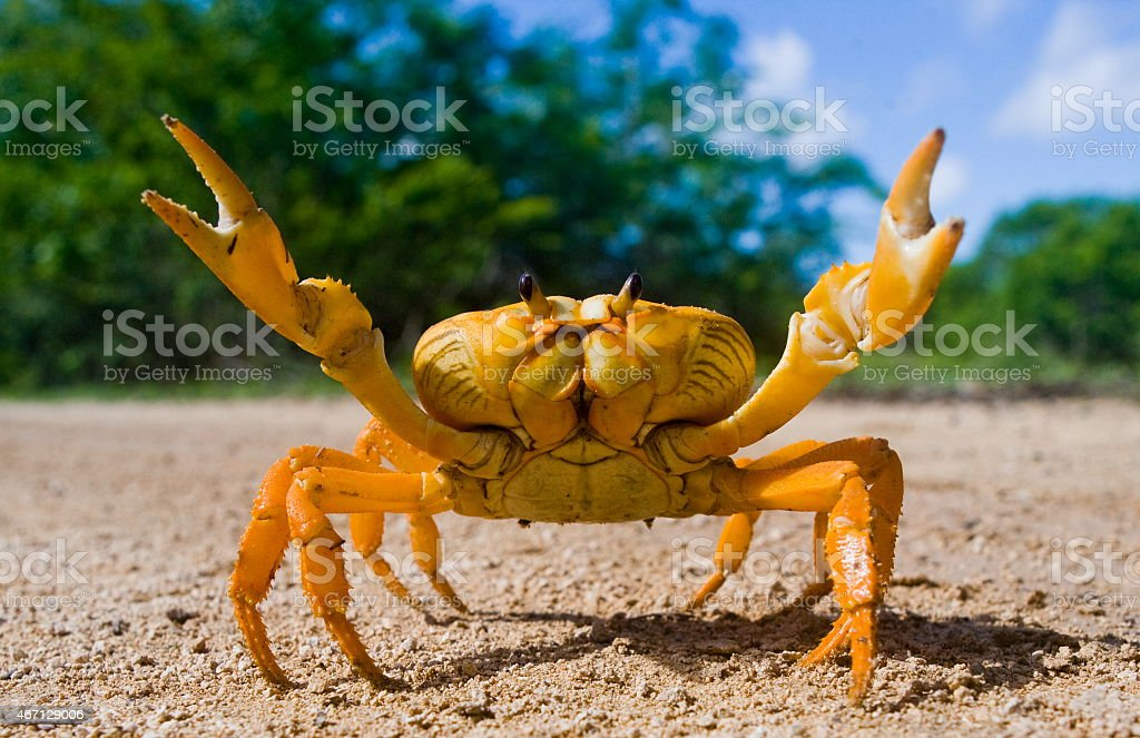 Yellow land crab. stock photo