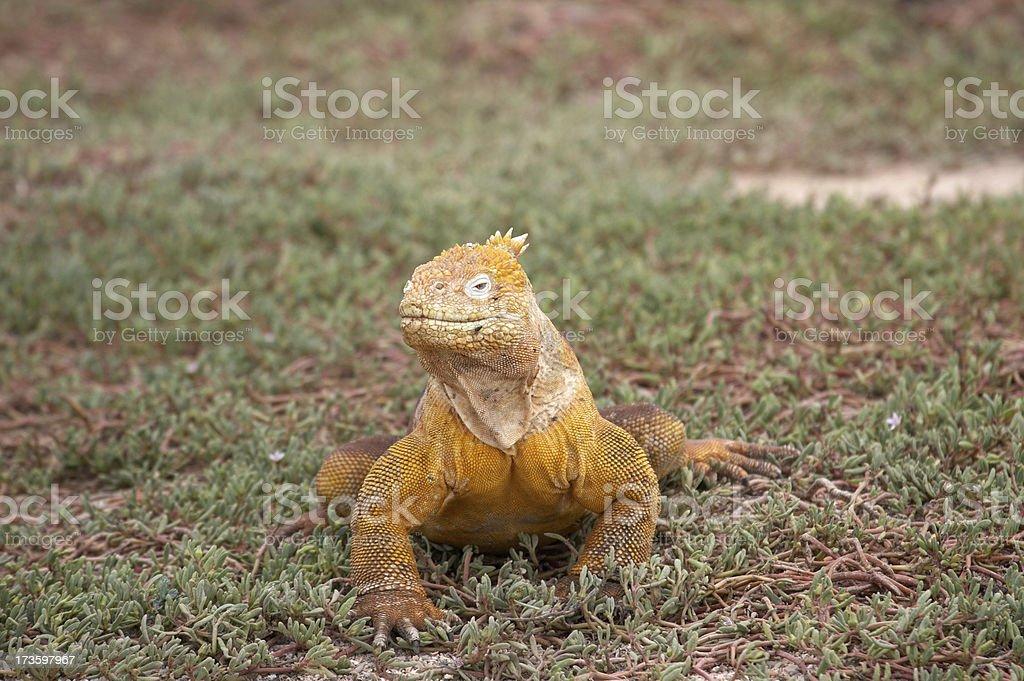 Yellow Land iguana in Galapagos Island royalty-free stock photo
