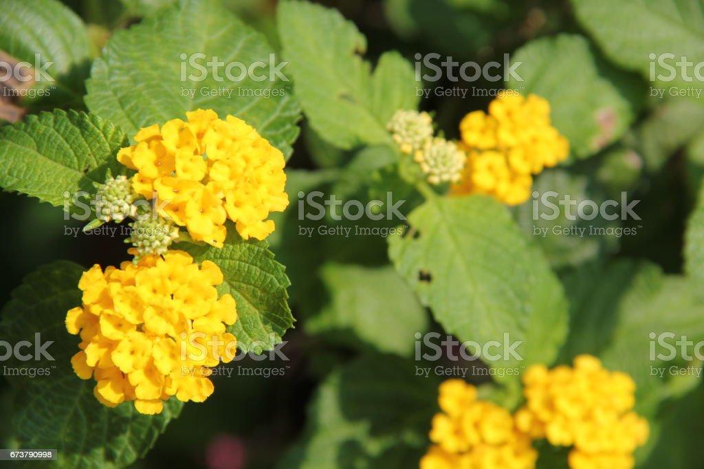 Fleur de Lantana jaune photo libre de droits