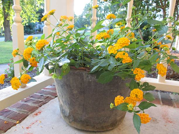 Yellow Lantana in a Vintage Copper Kettle on a Porch stock photo