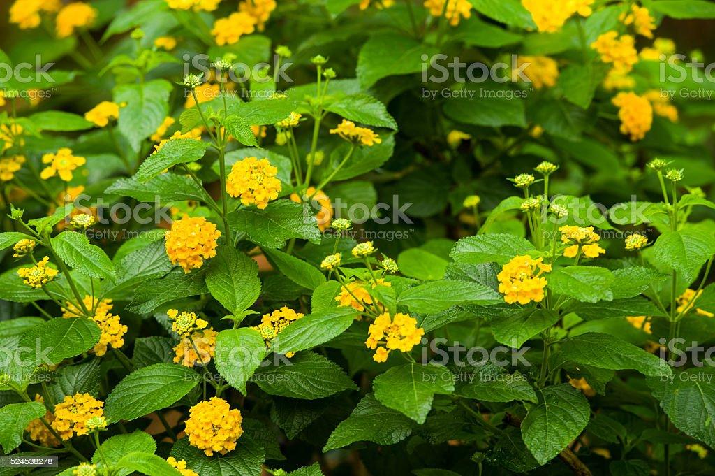 yellow lantana in garden stock photo