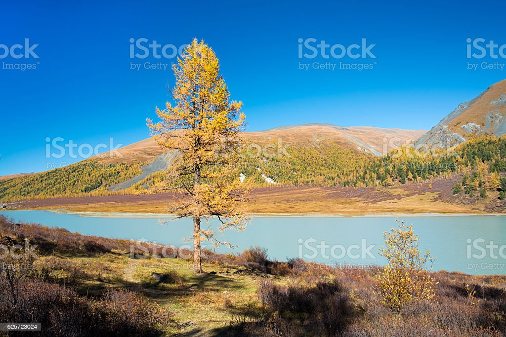 Yellow larch day in Altai – Foto