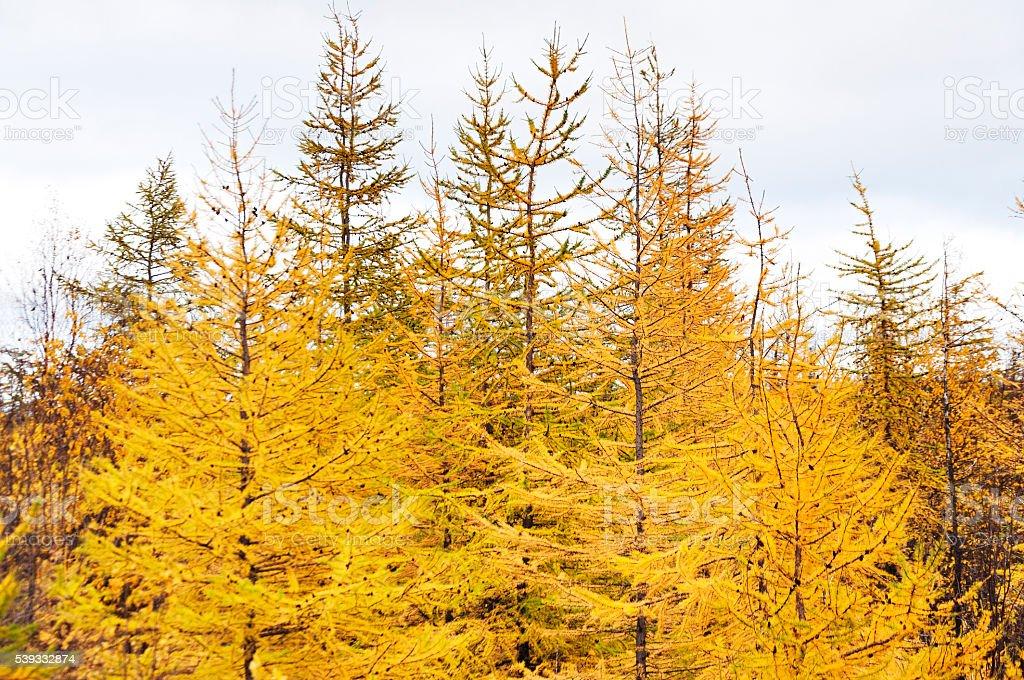 Yellow larch. Taimyr Peninsula, tundra. stock photo