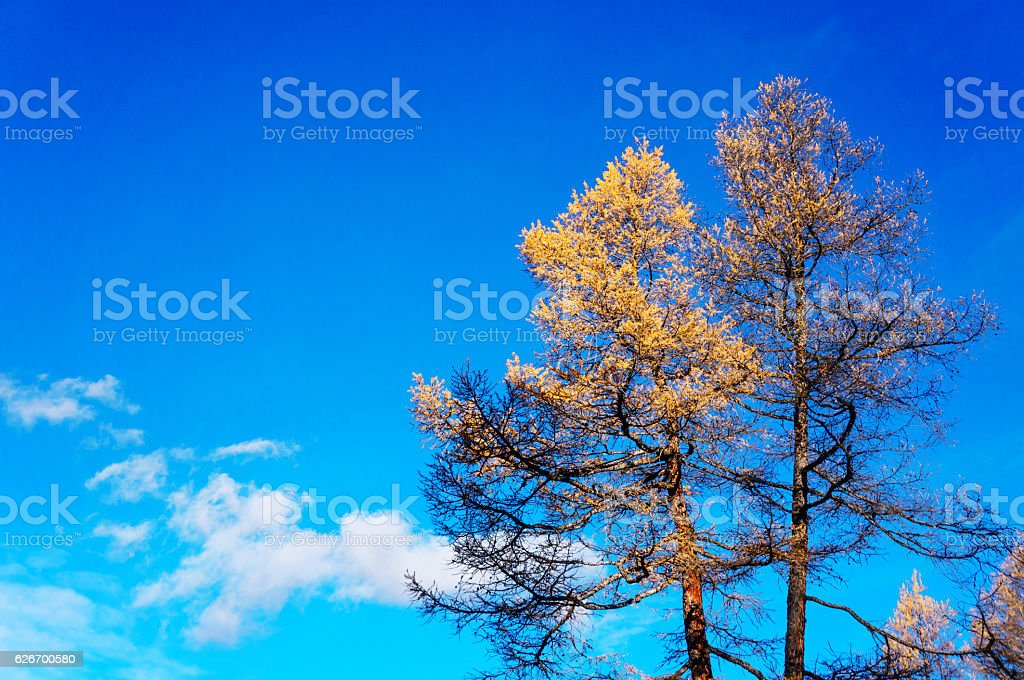 Yellow larch with blue sky in the background - foto de stock