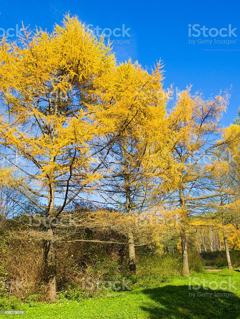 Yellow larches, autumn stock photo